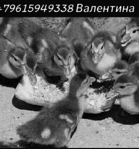 Утята шипунчики:-)