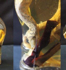 Змея в бутылке сувенир.