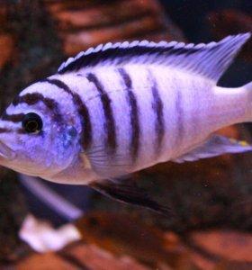 zebra chilumba Katale Reef