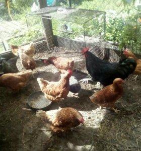 Яйцо куриное - деревенское