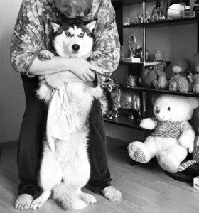 Подрощенный щенок Хаски