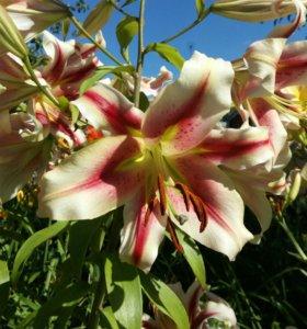 Красивейшие лилии