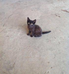 Полубританский котенок.