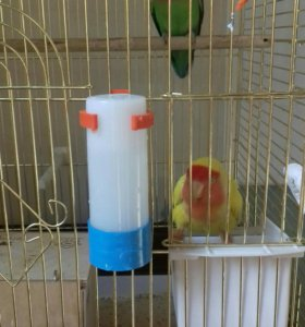 Попугаи неразлучники🐤🐦 срочно!!!!