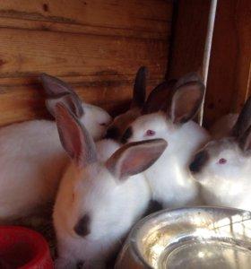 Кролики, калифорнийцы