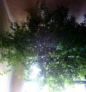 Комнатное дерево самовывоз