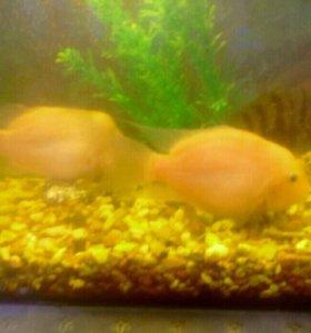 Рыбки-цыхлиды