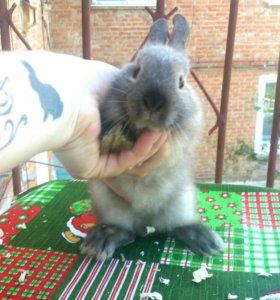 Сатиновый карликовый кролик