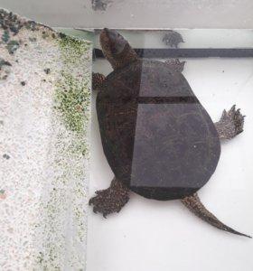 Продам Европейскую болотную черепаху с аквариумом