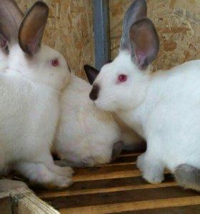 Калифорнийские кролики.