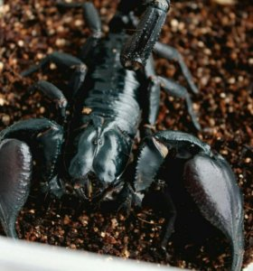 скорпионы. Читать описание