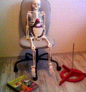 Скелет Артем + журналы человеческое тело