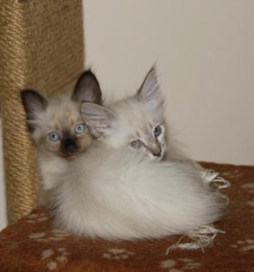 котята невские маскарадные 2,5 мес.