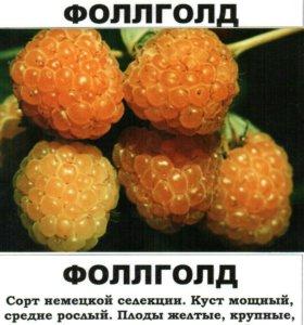 """Саженцы малины желтой сорт """"Фоллголд"""""""