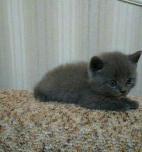 Продам котенка Британской породы