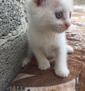 Вислоухий котенок
