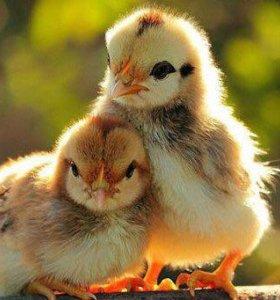 цветные цыплята, утята, перепелята, цесарки