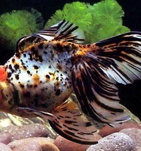 Золотая рыбка разных видов