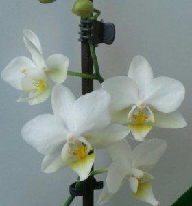 Продам орхидеи, домашнее цветение.
