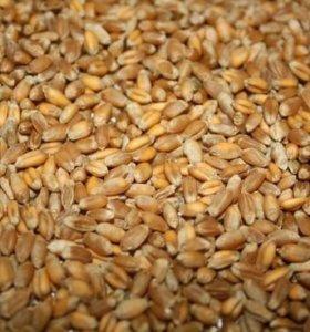 Овес и Пшеница 2017