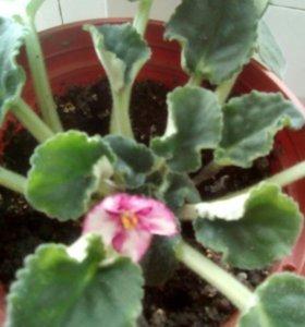 Цветы фиалка