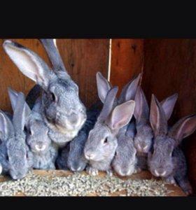 Кролилики порода шиншилла