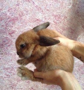 Кролики мини рекс