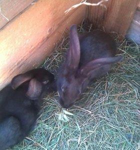 Крольчата 2-х месячные