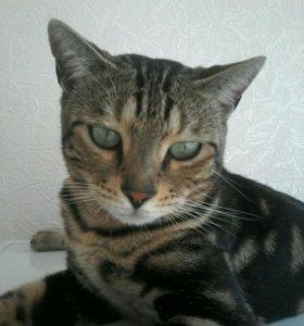 Бенгальская кошка на вязку.