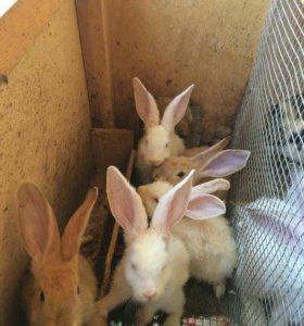Кролики разных пород: шиншила, бабочка.