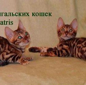 котята окраса розетка на золоте