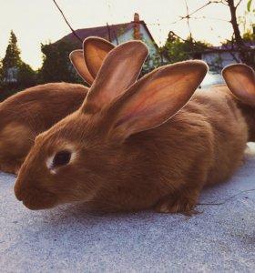 Крольчата мясных пород 🐰🥕
