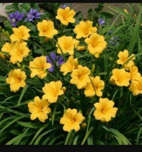 Лилейники желтые карликовые