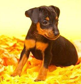 продам щенков пинчера