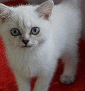 Котята серебристой шиншиллы