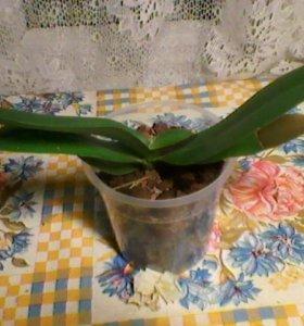 Отцветшая орхидея фаленопсис и горшки 1,5; 2 л