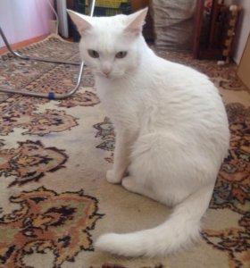 Кошка ангорская