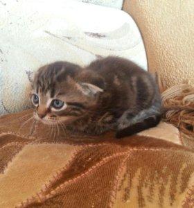 Котенок шотландский вислоухий черепахового окраса