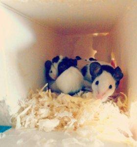 Японские ( бамбуковые) карликовые мышки