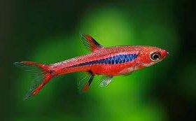 Рыбки для небольших аквариумов