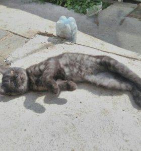 Котёнок британка