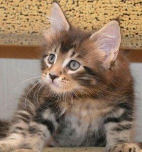 Продаются котята породы Мейн-кун.