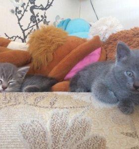 Отдам миленьких котят британские к лотку приучены