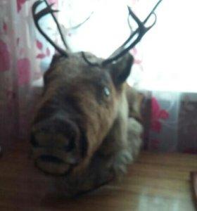 Чучело голова оленя.
