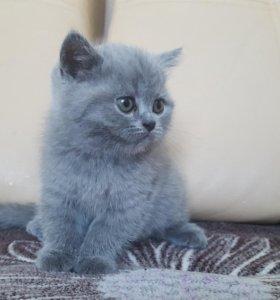 Кошечка британская