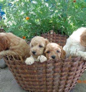 щенки пуделя