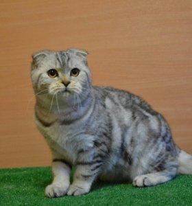 Мраморная кошка фолд