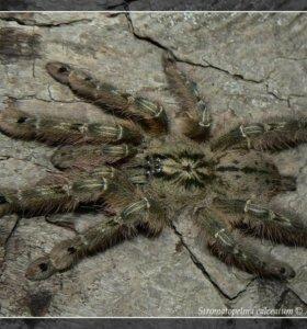 Паук-птицеед Stromatopelma calceatum малыши L2-3