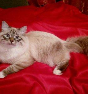 Сибирский Невский маскарадный кот
