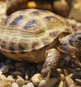 Сухопутая черепаха
